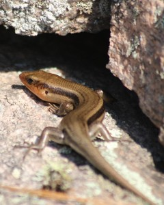 Five Lined Skink. Tam Mapes