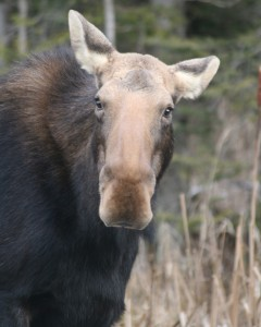 Moose. Tam Mapes