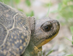 Blanding's Turtle. Tam Mapes
