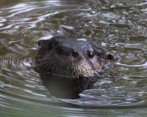 River Otter. Tam Mapes