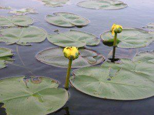 Yellow Water Lilies. Rebecca Krawczyk