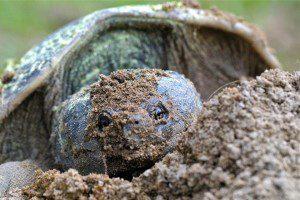 Rebecca turtle